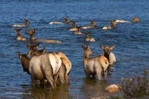 For Immediate Release New Elk Rutting Season Elkfest Images